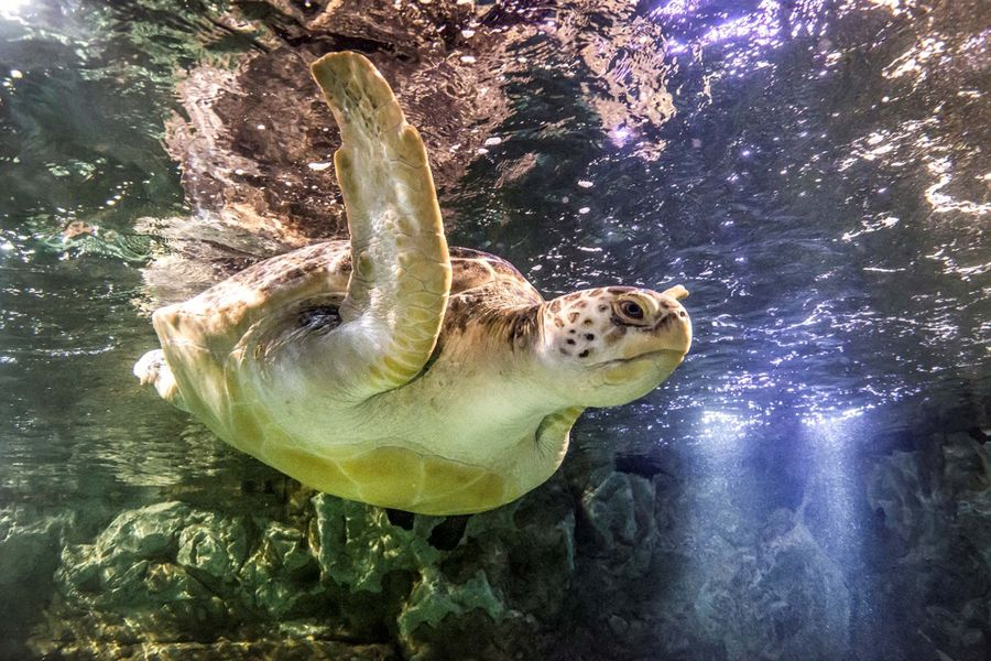 A giant green sea turtle at the National Sea Life Centre in Birmingham.Photo: Zac Macaulay.