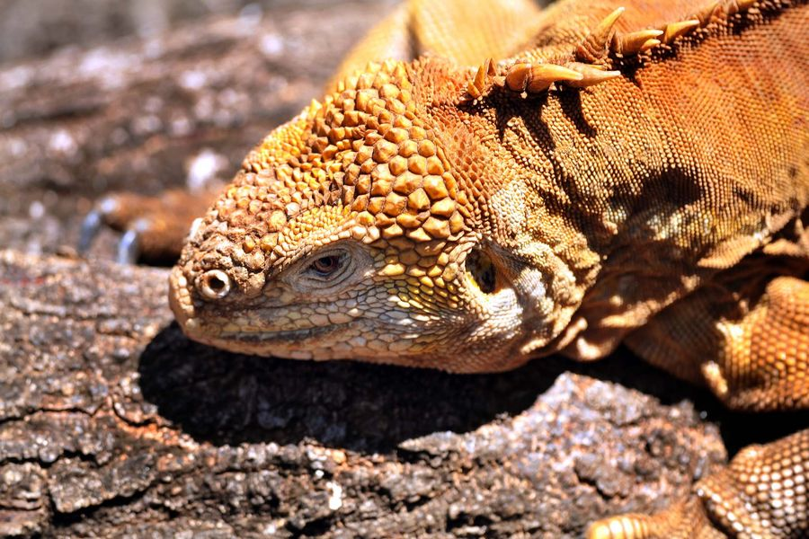 A land Iguana on the North Seymour Island, on the Galapagos Islands of Ecuador in the Pacific Ocean.